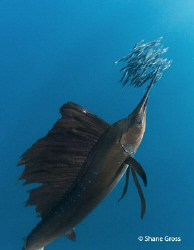 Sailfish feast by Shane Gross 